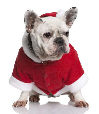 French bulldog in Santa coat, 3 years old, sitting in front of white background photo