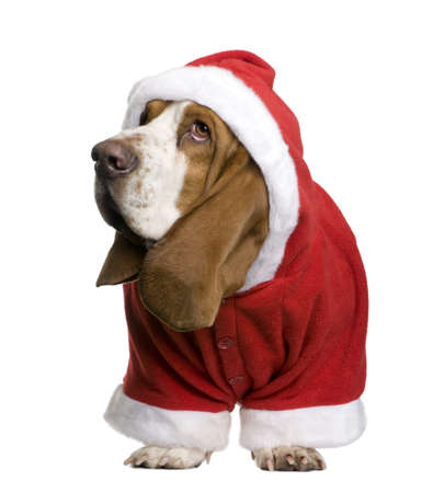 santa outfit: Basset hound in Santa coat, 2 years old, standing in front of white background