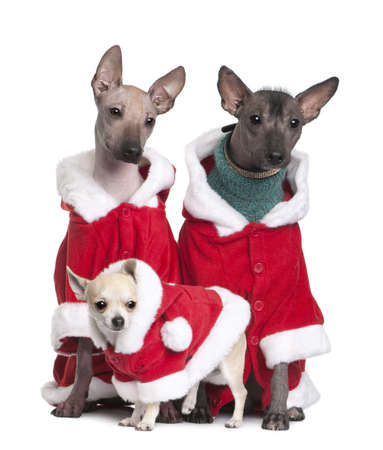 3 4 length: Peruvian Hairless Dogs and a puppy Chihuahua in Santa coats, 1 year, 2 years and 4 months old, in front of white background