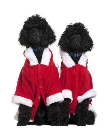 Two Royal Poodle puppies in Santa coats, 4 months old, sitting in front of white background photo