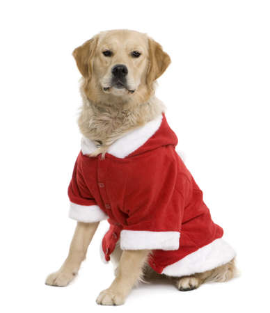 Golden retriever in Santa coat, 11 months old, sitting in front of white background photo