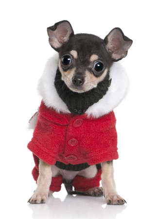 Chihuahua puppy in Santa coat, 3 months old, sitting in front of white background photo