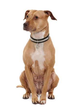 white collar: American Pit Bull Terrier, 4 years old, sitting in front of white background Stock Photo