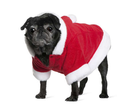 Pug in Santa coat, 10 years old, standing in front of white background photo