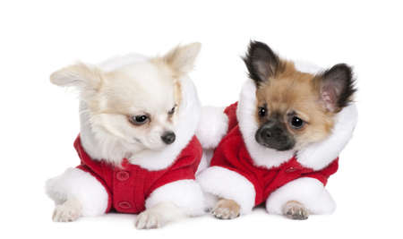 Two Chihuahuas in Santa coats, 7 months old, sitting in front of white background photo