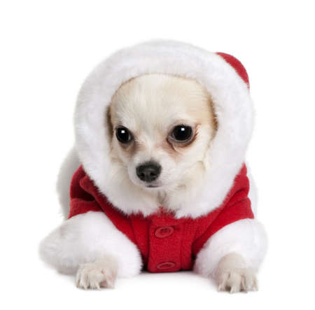 Chihuahua in Santa coat, 7 months old, sitting in front of white background photo
