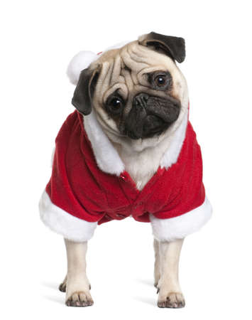 Pug in Santa coat, 1 year old, standing in front of white background photo