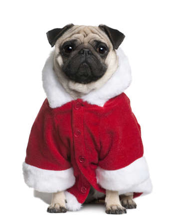 Pug in Santa coat, 2 Years old, sitting in front of white background photo