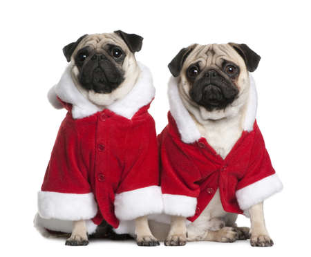 Two Pugs in Santa coats, 1 and 2 years old, sitting in front of white background photo