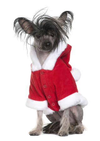 Chinese Crested Dog in Santa coat, 1 year old, sitting in front of white background photo