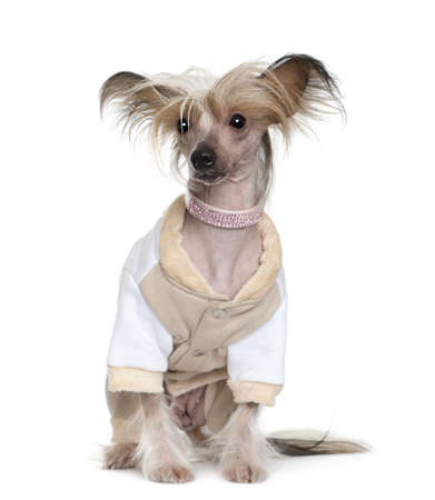 Chinese Crested Dog dressed up, 1 year old, sitting in front of white background photo