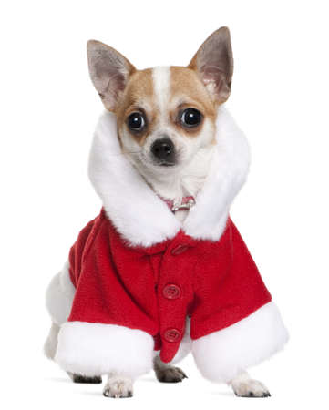 Chihuahua in Santa coat, 8 months old, sitting in front of white background photo