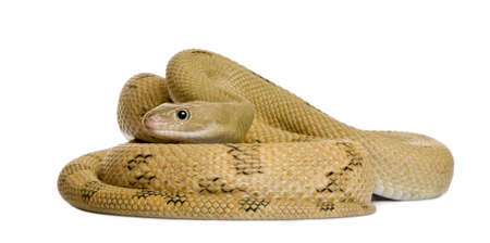 Trans-Pecos rat snake, Bogertophis subocularis, curled up in front of white background photo
