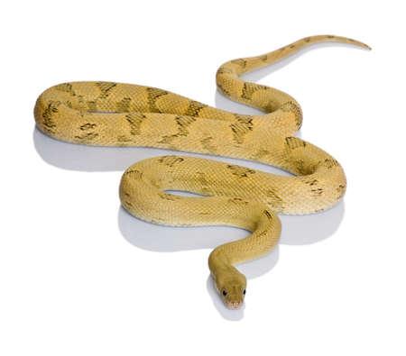 Trans-Pecos rat snake, Bogertophis subocularis, slithering against white background photo
