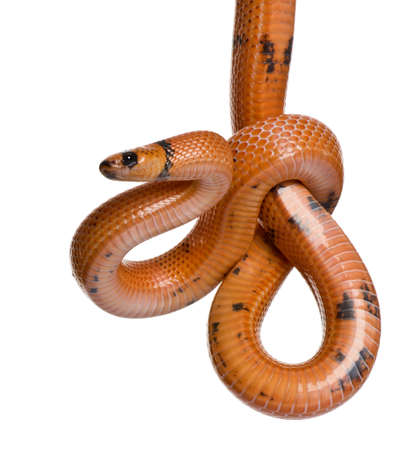 lampropeltis triangulum hondurensis: Honduran milk snake, Lampropeltis triangulum hondurensis, hanging in front of white background
