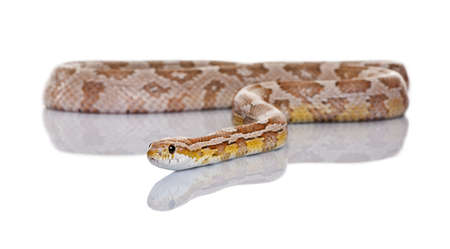 slithering: Corn snake or red rat snake, Pantherophis guttatus, slithering against white background