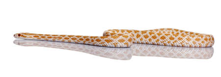 slithering: Corn snake or red rat snake, Pantherophis guttattus, slithering against white background Stock Photo