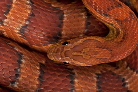 scaled: High angle view of corn snake or red rat snake, Pantherophis guttattus