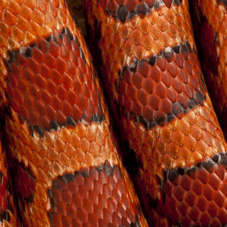 snake skin: Close-up of corn snakeskin or red rat snakeskin, Pantherophis guttattus