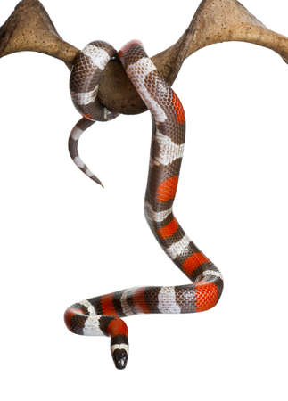 hanging out: Pueblan milk snake or Campbells milk snake, Lampropeltis triangulum campbelli, hanging from branch in front of white background Stock Photo