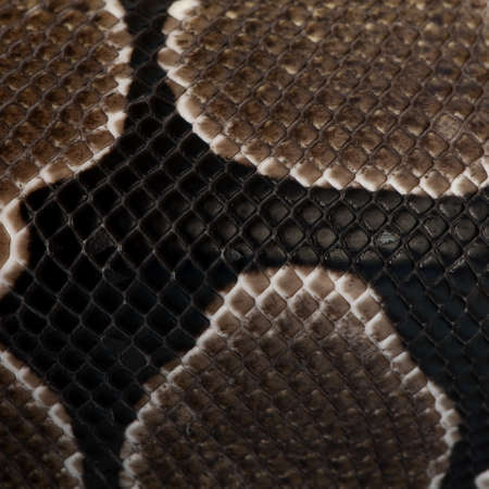 Close-up of Python regius snake scales photo