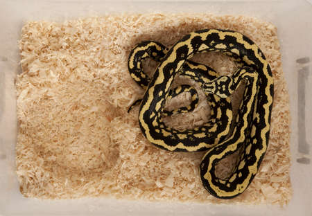 subspecies: High angle view of Morelia spilota variegata, a subspecies of python, in a cage Stock Photo