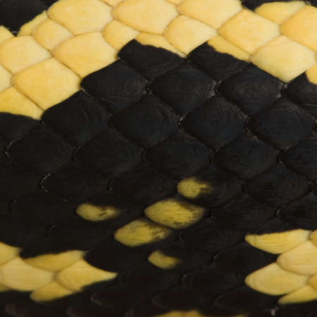 subspecies: Close-up of Morelia spilota variegata snake scales, a subspecies of python