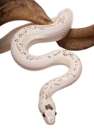 Black Rat Snake hanging from branch against white background, studio shot photo