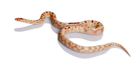 crawly: Snake slithering in front of white background, studio shot