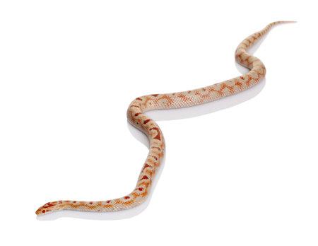 slithering: Snake slithering in front of white background, studio shot