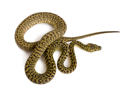 subspecies: High angle view of Morelia spilota variegata, a subspecies of python, against white background