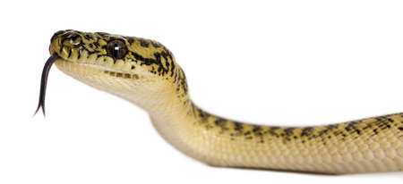 subspecies: Morelia spilota variegata, a subspecies of python, with tongue out