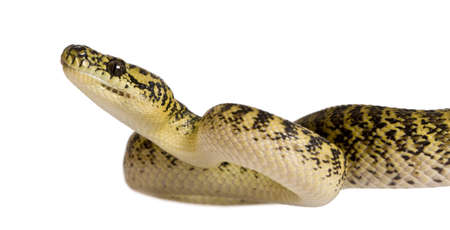 subspecies: Morelia spilota variegata, a subspecies of python, against white background