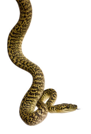 slithering: Morelia spilota variegata, a subspecies of python, against white background