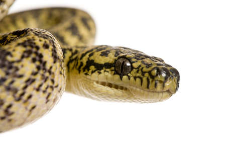 Close-up of Morelia spilota variegata, a subspecies of python, against white background photo