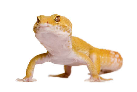 Sunglow Leopard gecko, Eublepharis macularius, in front of white background photo