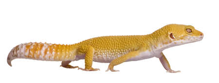 Sunglow Leopard gecko, Eublepharis macularius, walking in front of white background photo