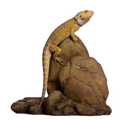 lagarto: Drag�n de Lawson, originario de henrylawsoni, encaramado sobre roca sobre fondo blanco Foto de archivo