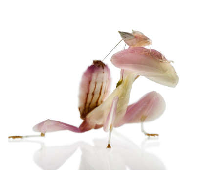 gottesanbeterin: Weibliche Hymenopus Coronatus auch bekannt als Malaysian Orchidee Mantis, vor der wei�en Hintergrund