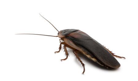 Dubia kakkerlak, Blaptica dubia, voor witte achtergrond Stockfoto