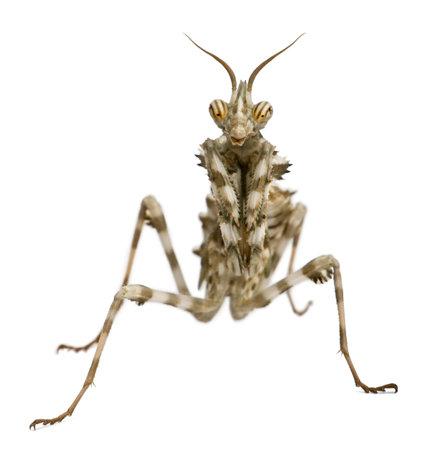 gottesanbeterin: Female Blepharopsis mendica, Devils Flower Mantis, in front of white background