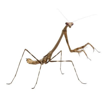 Praying mantis, Euchomenella sp, in front of white background photo