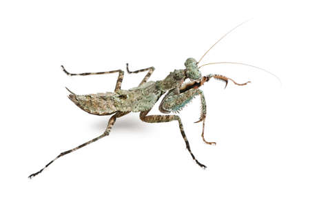 Theopompa SP, praying mantis, in front of white background photo