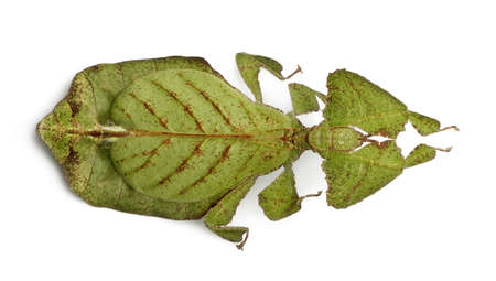 Phyllium bioculatum, leaf insect or walking leave, Phylliidae, against white background photo