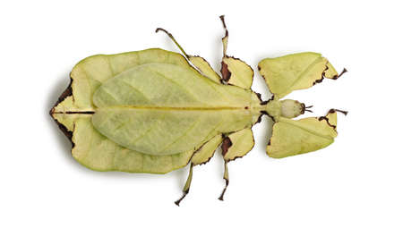 Phyllium giganteum, leaf insect walking leave, phyllidae, in front of white background photo
