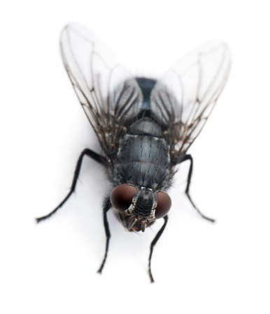 housefly: Housefly, Musca domestica, in front of white background