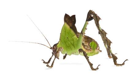 Grasshopper, Malaysian Leaf Katydid, Ancylecha fenestrata, in front of white background