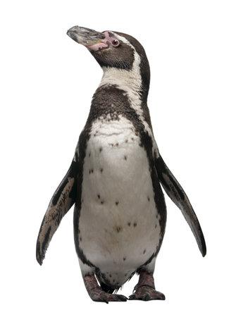 penguin: Humboldt Penguin, Spheniscus humboldti, standing in front of white background Stock Photo