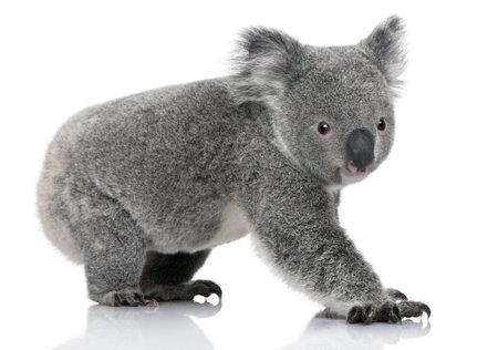 koalabeer: Jonge koala, Phascolarctos cinereus, 14 maanden oud, voor witte achtergrond