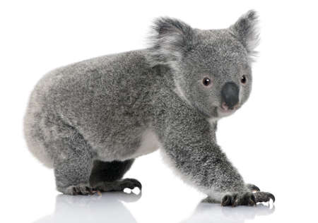 arboreal: Young koala, Phascolarctos cinereus, 14 months old, in front of white background